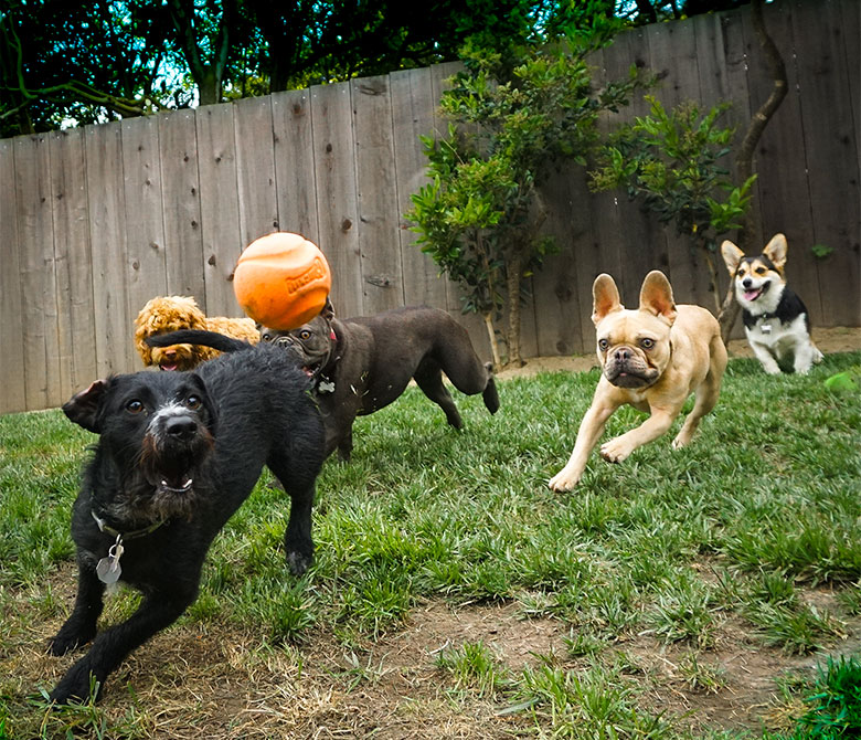 Dogs at play in our doggy daycare